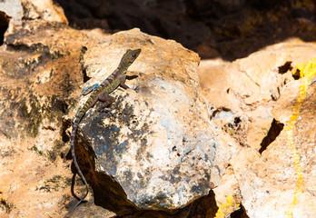 Cuba: Brown lizard on the rock