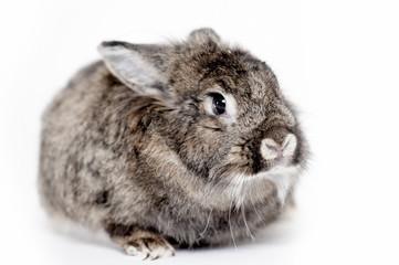 Grey house rabbit on white background isolated.