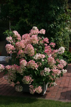 Hydrangea paniculata pinky rosa Blüte im Juli