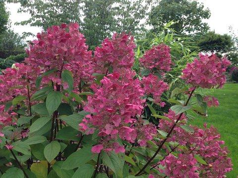 Hydrangea paniculata pinky rote Blüte September