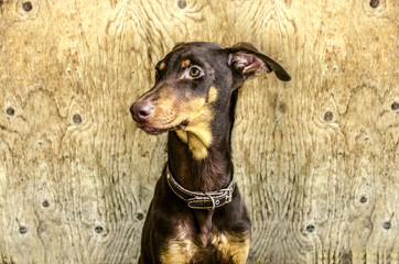 Young yellowish brown Doberman sitting in  backgrounds is not painted plywood