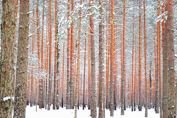 trunks of pine trees in a snowy forest