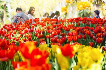 Tulip flower in garden and sunlight.