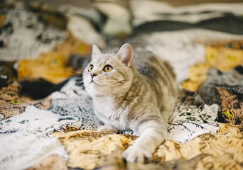 little Scottish straight tabby kitten on the kitty tapestry