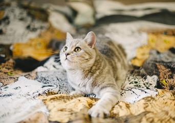 little Scottish straight tabby kitten on the kitty tapestry