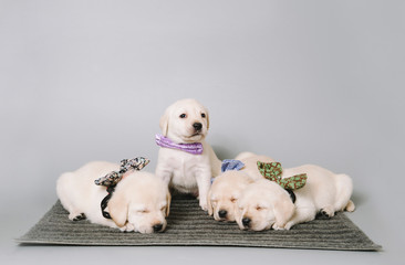 cute cuddly puppies in a bow ties fell asleep in the photo studio