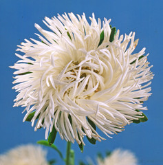 Lush fresh white flower aster on blue background