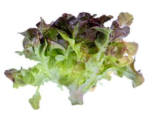 Fresh oak leaf lettuce isolated on white background