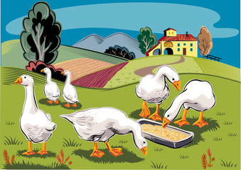 Geese in a busy grass eating from a manger.