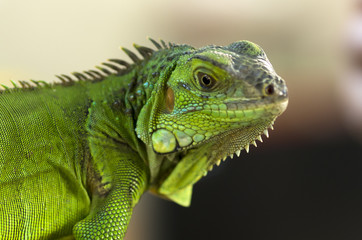 Head of green lizard