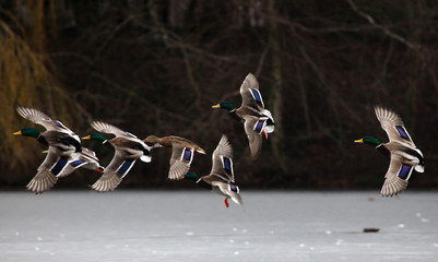 Mallard ducks flying in the sky and standing on ice