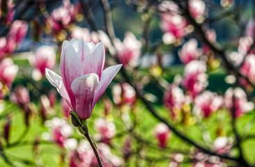Magnolia flower blossom in springtime