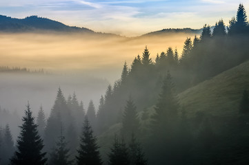 pine forest in fog at sunrise