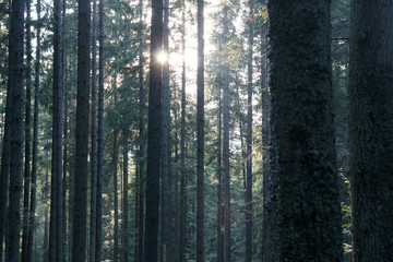 The forest, the sun shines between the trees