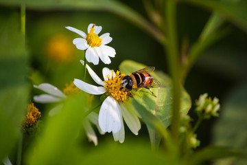 Close up cute flower flies on a Daisy flower / Hoverfly (Syrphidae) searching for nectar