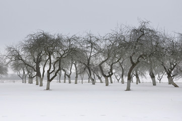 Apple garden in winter. Bare trees in snow.