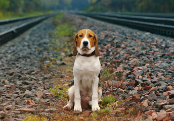 Sad dog on the railroad in autumn rainy day. Waiting for the train. Estonian hound.