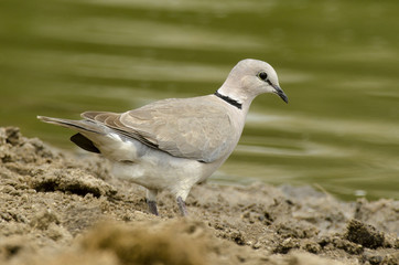 Tourterelle du Cap,.Streptopelia capicola, Ring necked Dove, Parc national Kruger, Afrique du Sud