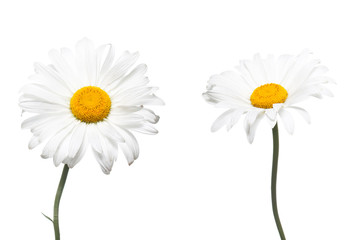 Beautiful white daisy flowers. Floral wallpaper.