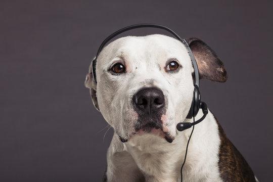 Service Representative Dog Talking on Headset Phone