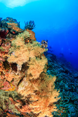 Colourful soft corals on a healthy tropical reef