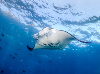 Large Manta Ray swimming in the ocean