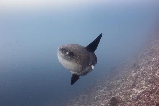 Oceanic Sunfish (mola mola) deep underwater
