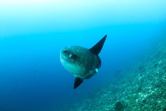 Large Mola Mola (Oceanic Sunfish) deep underwater