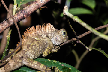 Chameleon in the jungle at night