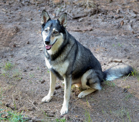 Very good dog, a cross between a husky and wolf, Russia