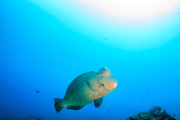 Bumphead Parrotfish on a tropical coral reef