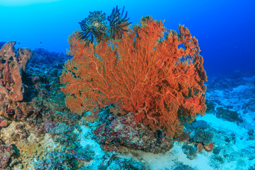 Large seafan deep on a tropical coral reef