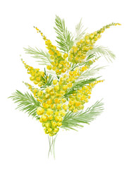 Watercolor illustration of yellow mimosa branch on white background.