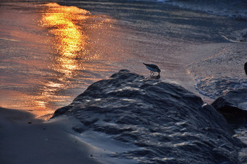 Sandpiper Searching For Food at Sunrise Along Rock Jetty on Beach