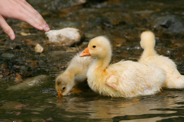 little goose in the water