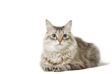 Siberian cat breed lying isolated on white