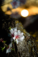 Spring flowering branches, white flowers at sunset,  blossoms
