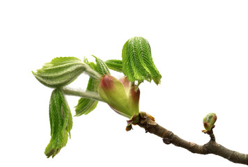 Spring branch of horse chestnut tree with young green leaves