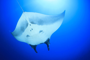 Manta Ray. Oceanic Manta (Manta birostris)