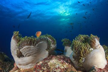 Clownfish anemonefish fish on underwater ocean coral reef