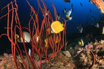 Butterflyfish fish coral reef underwater
