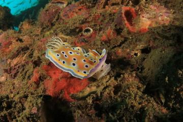 Nudibranch - Chromodoris sea slug