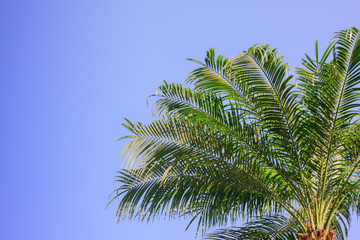 palm tree isolated over blue sky