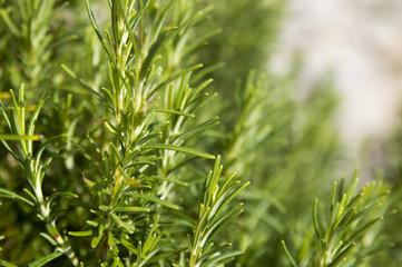 Rosemary camphor wild plant (Rosemarinus officinalis)