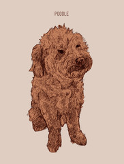 Poodle  dog vector illustration. Hand drawn dog sketch.