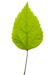 Зелёный лист растения на белом фоне