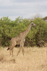A Giraffe Walking in Tanzania