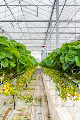 Strawberry runners in long rows in a greenhouse