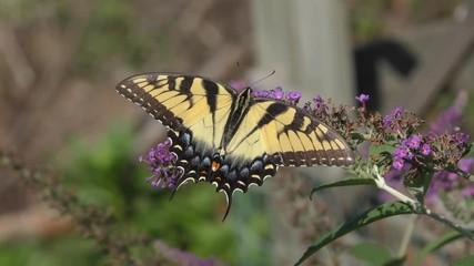 Fotoväggar - Tiger Swallowtail (papilio glaucas) Butterfly on a butterfly bush flower