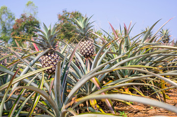 Pineapple in farm, fresh tropical fruit agriculture in thailand
